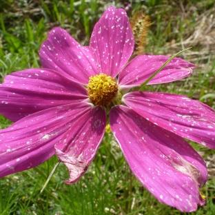 Rosane Mavenblüte