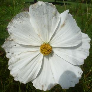 Weisse Malvenblüte
