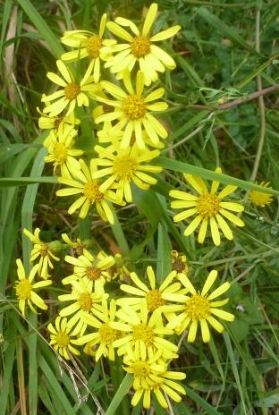 Wilde gelbe Blütenbusch