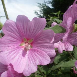 Rosane Malvenblüten