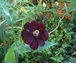 Lila Asternblüte