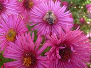 Asternblüten mit Biene