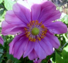 Lilla Malvenblüte