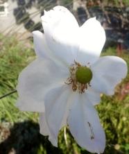 Weiße Malvenblüte