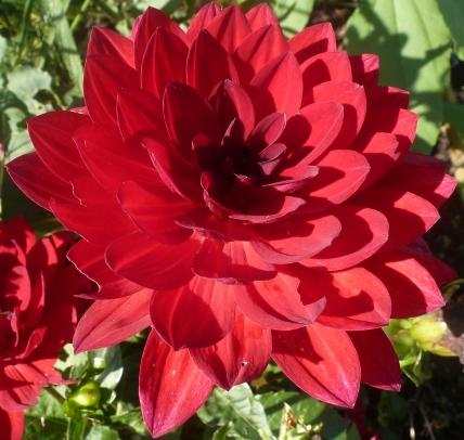 Herrliche Dahlienblüte