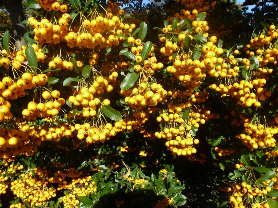 Gelber Ebereschenbusch
