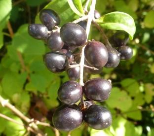 Schwarze Beeren vom Kirschlorbeer