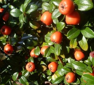 Apfeldornbeerenbusch