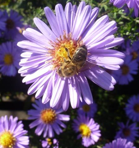 Lilane Aster mit Biene