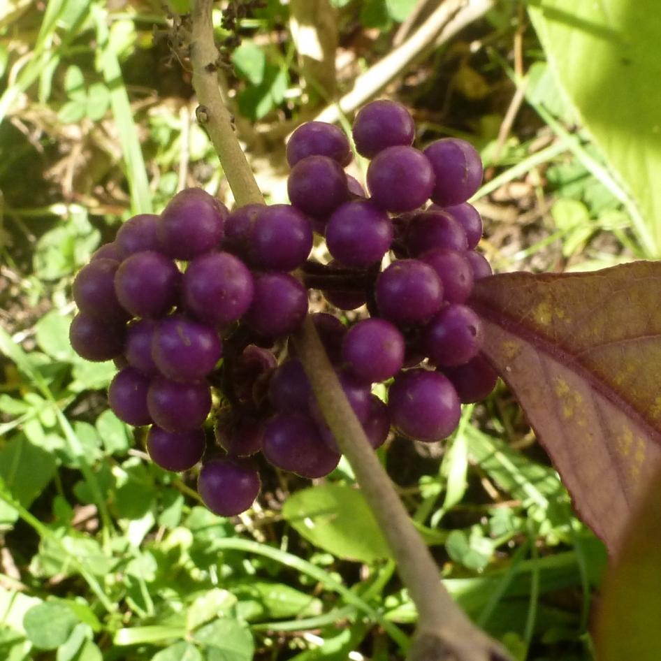 Genannt lila Liebesperlenstrauch