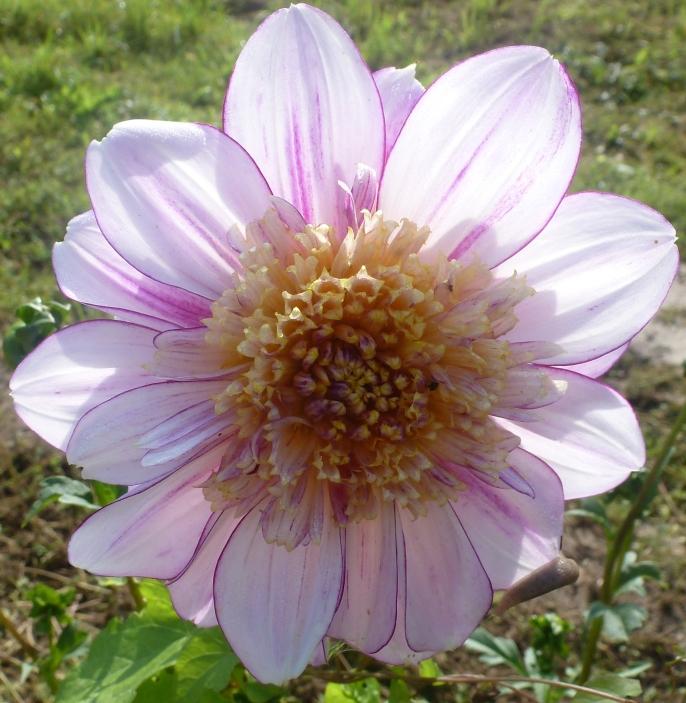 Lila Gelbe Dahlienblüte