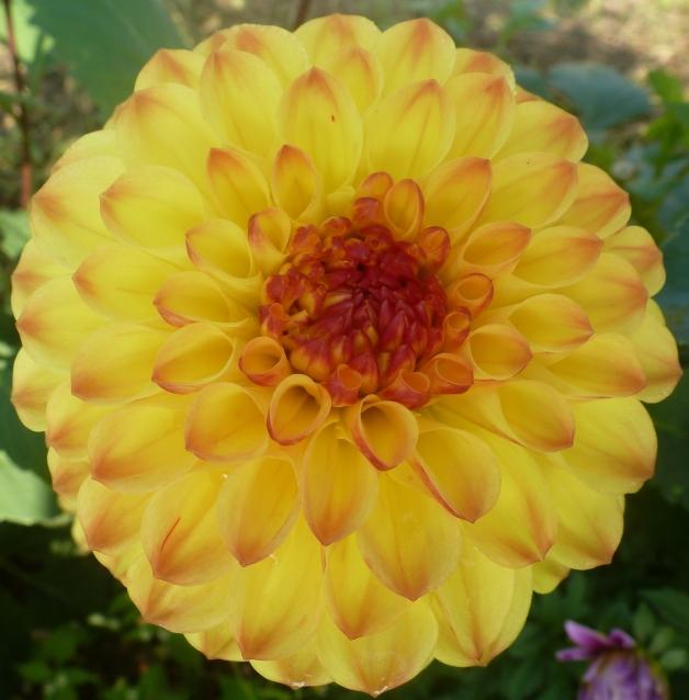 Gelbe Dahlienblüte