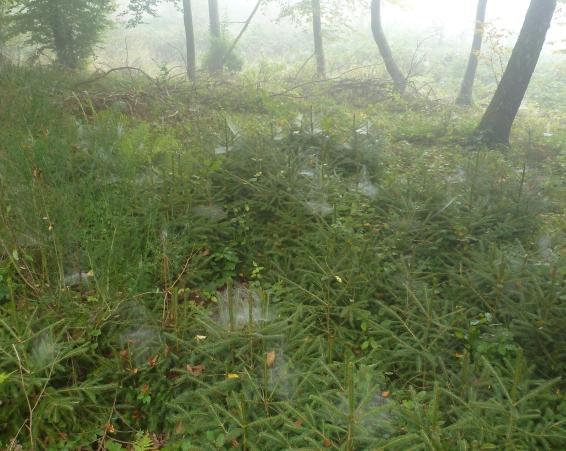 Im Tannenwald mit vielen Spinnennetzen