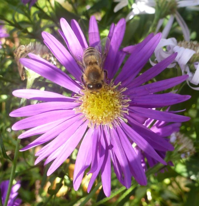 Lilane Asternblüte mit Biene