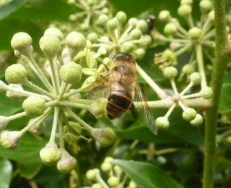 Honigbiene weiß auch wo es leckeren Nektar gibt