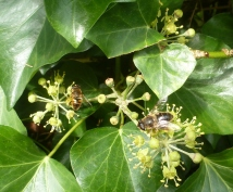 Hier erfreuen sich 2 Bienen an dem süßen Hektar
