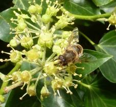 Wilder gelber Blütenbusch mit wild Biene