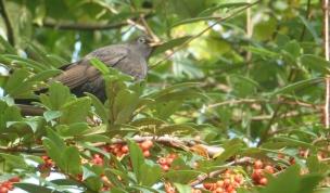 Die Amsel im Wildbeerenbaum bei der Beerenmahlzeit