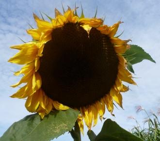 Die Sonnenblume ist sie nicht wunderschön