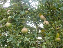 Apfelbaum aus Nachbarsgarten