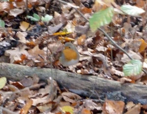 Rotkehlchen auf einem alten Ast im Laub
