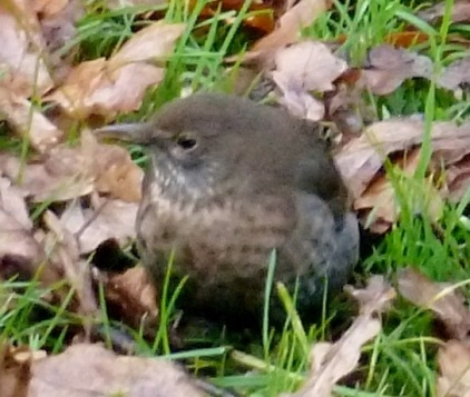 Ein Drosseljungvogel im Laub