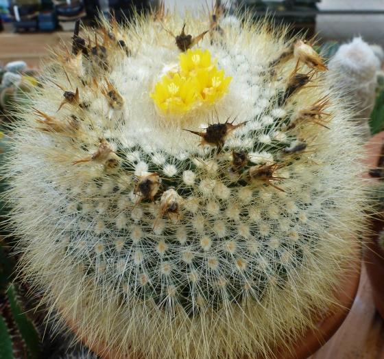 Der Kaktus er blüht so schön