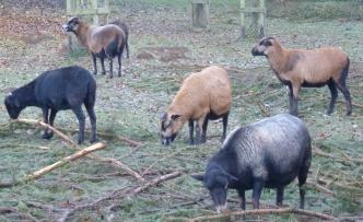 Die Ziegen vom Schwanenteich