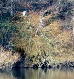 Die Reiher am See
