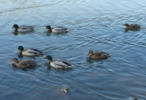 Die Enten auf dem Eissee