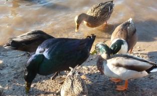 Die blaue Ente an der Saalermühlensee