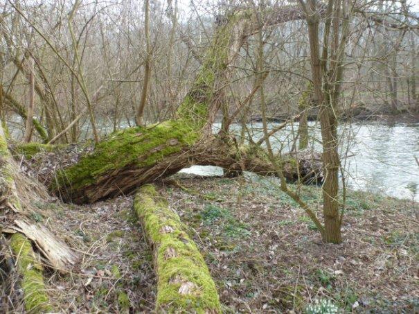 Alter Baum an der Ahr