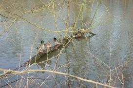 Enten auf dem Baumstamm im Schwanenteichsee