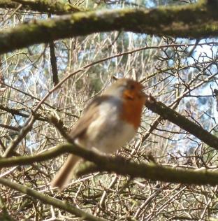 Das Rotkehlchen singt so schön der Frühling naht