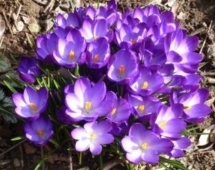 Ein Pracht an lila blauen Krokussen