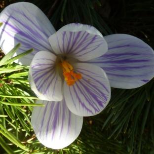 Krokusblüte in weiß lila