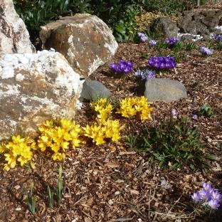 Der Steingarten mit Krokussen