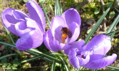 Krokusse mit Biene