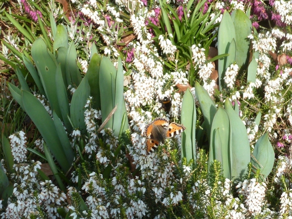 Die ersten Schmetterlinge im Frühling