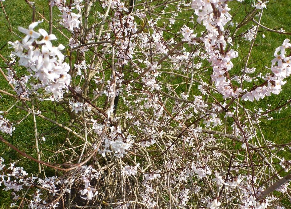 Frühlingsblütenbusch