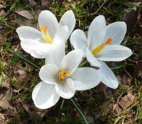 Weiße Krokusse in voller Blüte