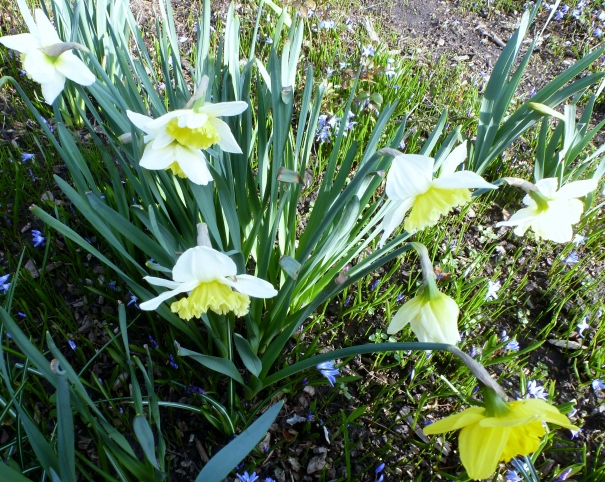 Weiße gelbe Osterglocken