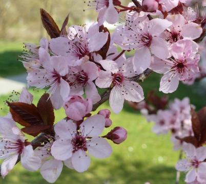 Rosane japanischen Kirschblüten
