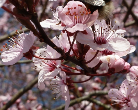 Japanischer Blütenbaum
