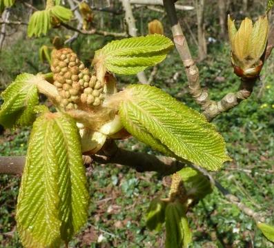 Kastanien Blüten und Blätter