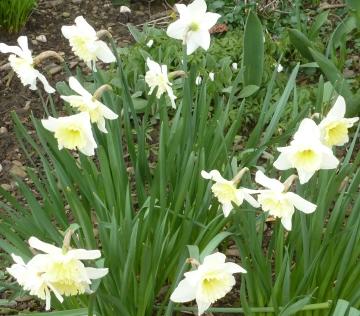Weiße Osterglockenbusch