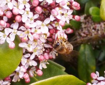 Der Blütenduft lockt Bienen an