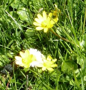 Gänseblümchen im Sonnenlicht