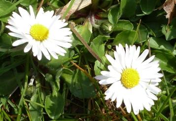 zwei schöne Gänseblümchen