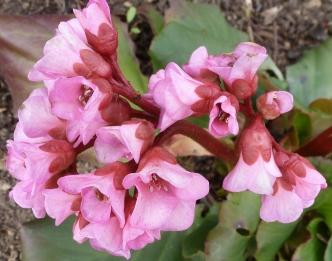 rosane Blüten